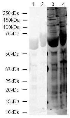 Western blot - PADI6 antibody (ab16480)