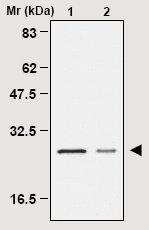 Immunoprecipitation - Peroxiredoxin 4 antibody [1A1] (ab16754)