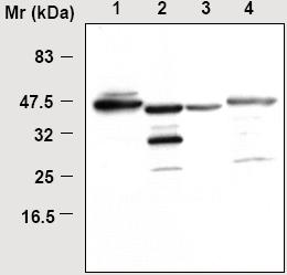 Western blot - Glutamine Synthetase antibody (ab16802)