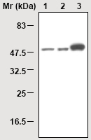 Western blot - NSE antibody [37E4] (ab16807)