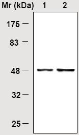 Western blot - NSE antibody [85F11] (ab16808)