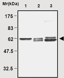 Western blot - TXNRD2 antibody (ab16841)