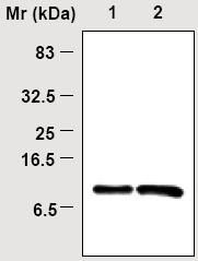 Immunoprecipitation - Thioredoxin / TRX antibody [8A1] (ab16845)