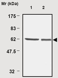 Western blot - TXNRD1 antibody [19A1] (ab16847)