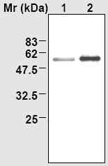 Immunoprecipitation - TXNRD2 antibody [25B3] (ab16852)