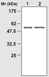 Western blot - TXNRD2 antibody [7B2] (ab16854)