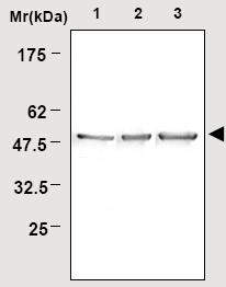 Western blot - NSE antibody - Neuronal Marker (ab16873)
