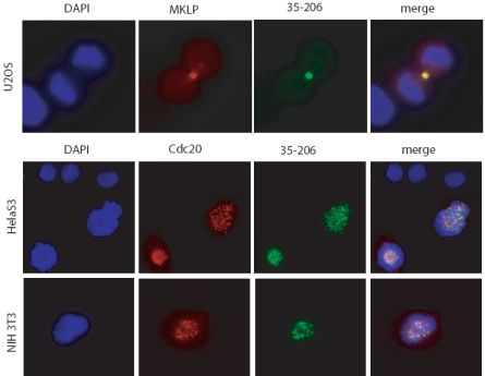 Immunofluorescence - Plk1 antibody [35-206] (ab17056)