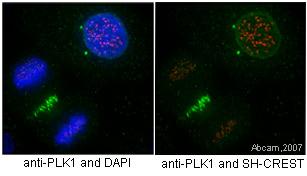 Immunofluorescence - Plk1 antibody [36-298] (ab17057)