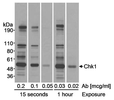 Western blot - Chk1 antibody (ab17191)