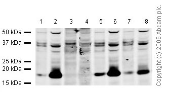 Western blot - Histone H1 (tri methyl K25) antibody (ab17347)