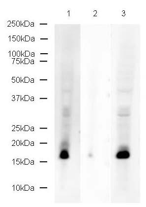 Western blot - Histone H2A (yeast) (phospho S129) antibody (ab17353)