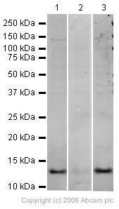 Western blot - Histone H4 (Biotinylated K5) antibody (ab17343)