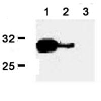 Western blot - Granzyme B antibody [B18.1.] (FITC) (ab17929)