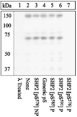 Western blot - SHP2 (phospho S576) antibody (ab17940)