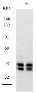 Western blot - ERK1 + ERK2 antibody (ab17942)