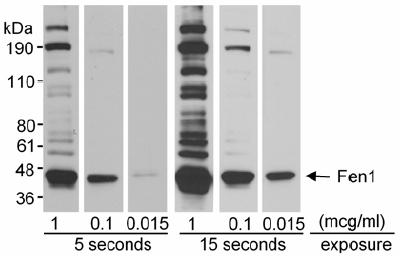 Western blot - FEN1 antibody (ab17994)