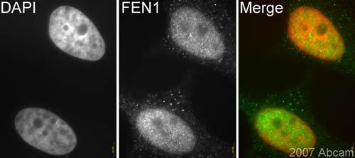Immunocytochemistry/ Immunofluorescence - FEN1 antibody (ab17994)