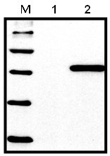 Western blot - 6X His tag antibody [HIS.H8] (ab18184)