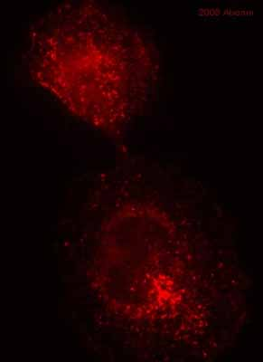 Immunocytochemistry/ Immunofluorescence - Anti-Caveolin-1 antibody (ab18199)
