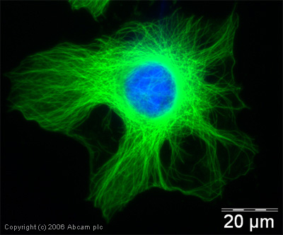 Immunocytochemistry/ Immunofluorescence - alpha Tubulin antibody (ab18251)