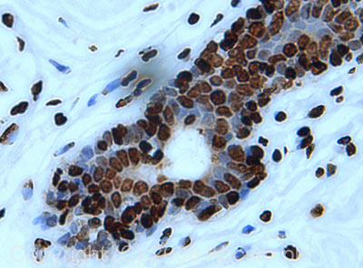 Immunohistochemistry (Formalin/PFA-fixed paraffin-embedded sections) - Histone H4 antibody (ab18253)
