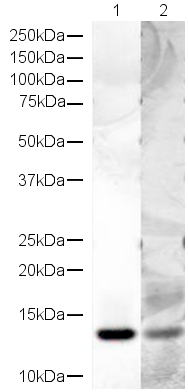 Western blot - Anti-Histone H4 antibody (ab18253)