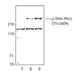 Western blot - DNA PKcs (phospho T2609) antibody [10B1] (ab18356)