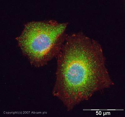 Immunocytochemistry/ Immunofluorescence - IL4I1 antibody (ab18524)