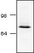 Western blot - Synapsin I antibody (ab18814)