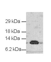 Western blot - Cytochrome C antibody (ab18817)