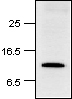 Western blot - Histone H2A antibody (ab18975)