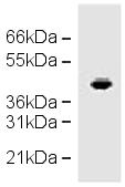 Western blot - CCR1 antibody (ab19013)
