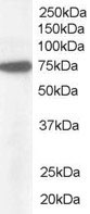 Western blot - 58K Golgi protein antibody - Golgi Marker (ab19072)
