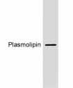 Western blot - Anti-Plasmolipin antibody (ab19309)
