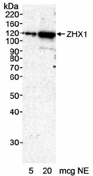 Western blot - Anti-ZHX1 antibody (ab19356)