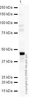 Western blot - MEIS1 antibody (ab19867)