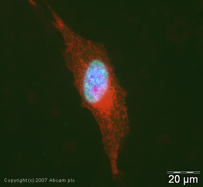 Immunocytochemistry/ Immunofluorescence - Histone H2A (symmetric di methyl R77) antibody (ab19923)