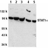 Western blot - STAT1 alpha antibody (ab2071)
