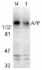 Western blot - Amyloid Precursor Protein antibody (ab2073)