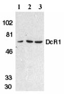 Western blot - DcR1 antibody (ab2087)