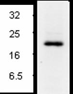 Western blot - active Caspase 7 antibody (ab2323)