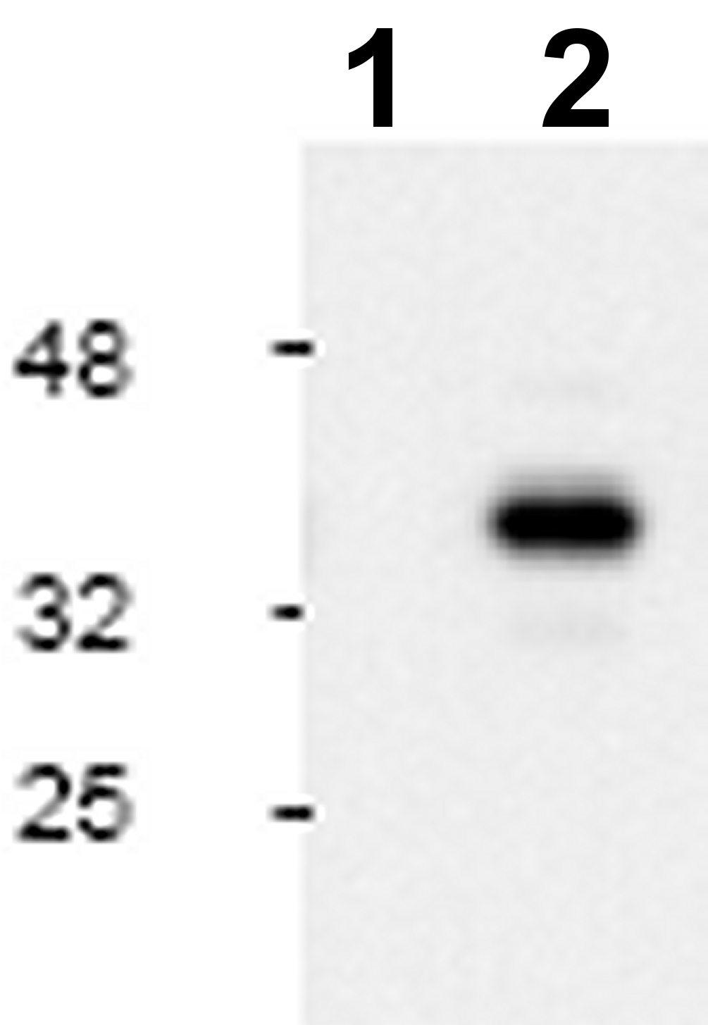 Western blot - active Caspase 9 antibody (ab2324)