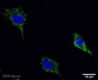 Immunocytochemistry/ Immunofluorescence - Holocytochrome C  antibody (ab2542)