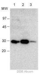 Western blot - Anti-Bcl-XL antibody (ab2568)