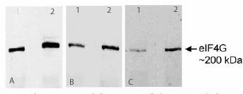 Western blot - eIF4G1 antibody (ab2609)