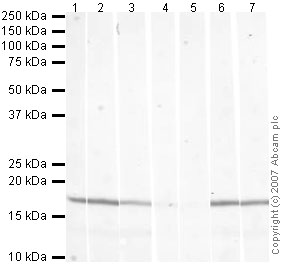 Western blot - Histone H3 (tri methyl K79) antibody - ChIP Grade (ab2621)