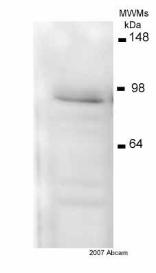 Western blot - HIF1 beta antibody [2B10] (ab2771)