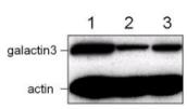 Western blot - Galectin 3 antibody [A3A12] (ab2785)