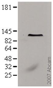 Western blot - NTF97/Importin beta antibody [3E9] (ab2811)